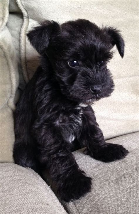 black miniature schnauzer puppies 25 best ideas about black schnauzer on schnauzer puppies mini schnauzer