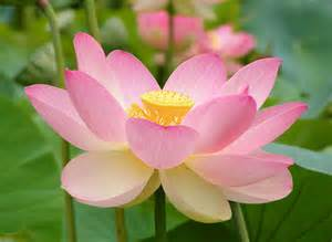 Lotus Our National Flower Travel India Guide To Indian National Flower Symbols