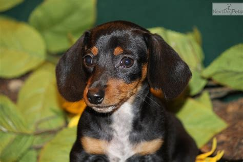 puppies for sale in dallas dachshund puppies for sale near dallas tx breeds picture