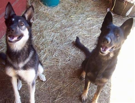 types of shepherd dogs list of types of shepherd dogs
