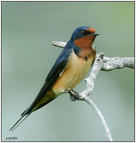 barn swallow splendor birdnote