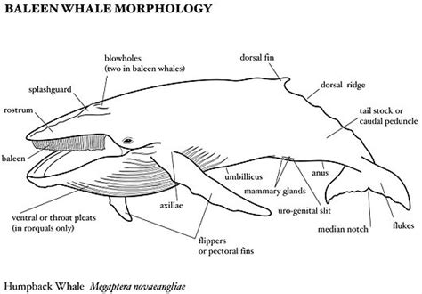 diagram of a humpback whale baleen whales world s largest creature filter feeders