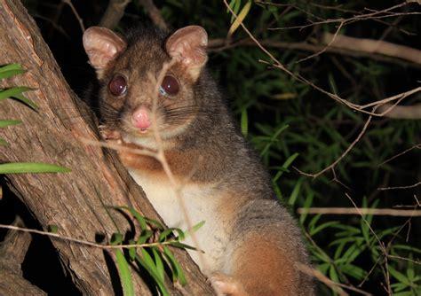 possum removal croydon pest control services pest