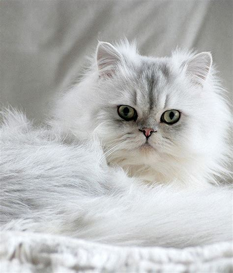 pros and cons of cats chinchilla persian cats 101 chinchilla persian cat breed