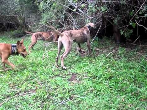 dogs with abs hound puppies bay up a small boar hog doovi