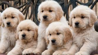 labrador doodle puppies for sale labradoodle characteristics appearance and pictures