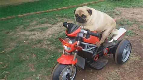 pug bike pug puts pedal to the metal on electric bike abc news