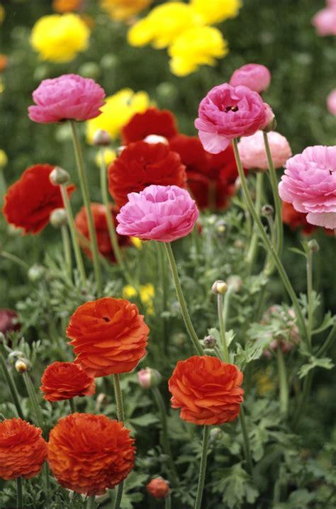 renoncule planter  cultiver ooreka