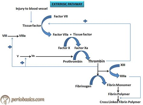 mechanism of blood clotting flowchart mechanism of blood clotting flowchart create a flowchart