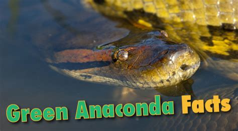 facts about green green anaconda facts information from active wild