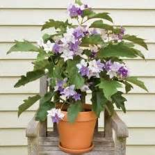 Pohon Bunga Aster Purple Aster tanaman geiger