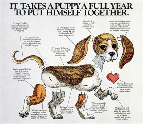 shih tzu puppy growth chart puppies growth and development breeds picture
