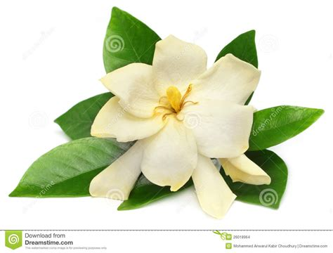 gardenia or gondhoraj flower stock photo image 26018964