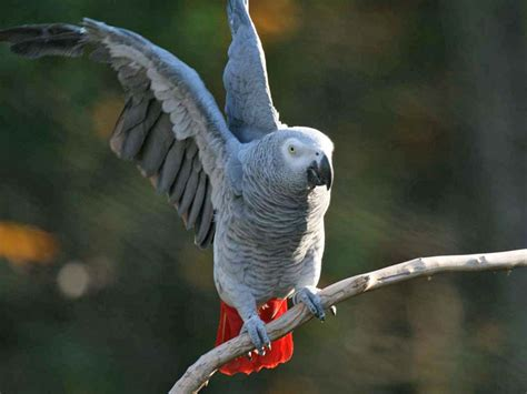 grey parrot the life of animals