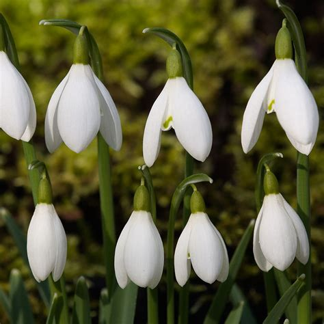 snow drop snowdrop dates times welford park come and see the snowdrops
