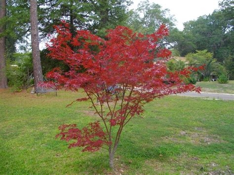 pruning japanese maples when and how to prune a japanese