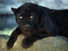 Jaguar Cat Black Jaguar Free Stock Photos Free Stock Photos