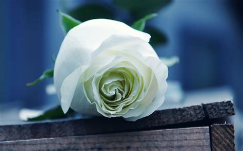 best backgrounds rose wallpaper beautiful white roses wallpapers photos flowers images