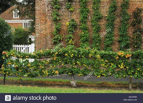hatton fruit garden kent espalier apple king of the