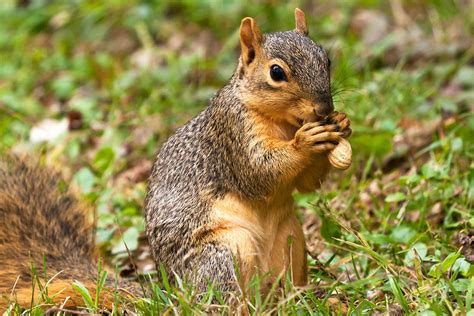 squirrel eating a peanut by james marvin phelps