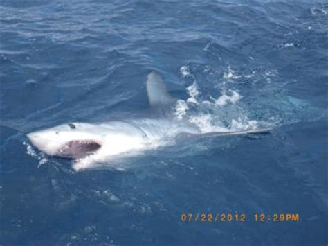 mako boats san diego world class shark fishing in san diego california us
