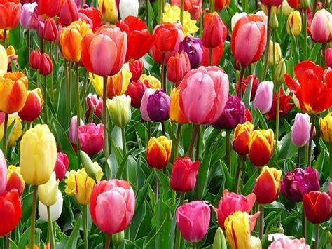 imagenes alegres y coloridas tulipanes de colores alegres tulipanes cama colorida