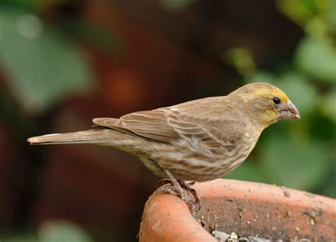 house finch yellow variant project noah