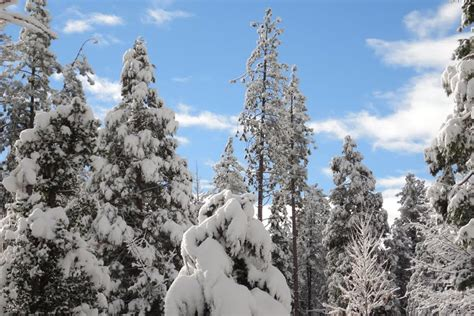 panoramio photo of snow capped trees