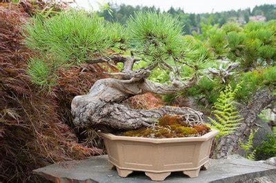 zen garden 27 photos home decor 11401 pines blvd ponderosa pines at elandan gardens bonsai tonight