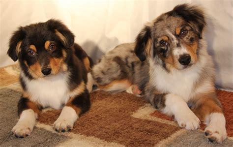 corgi puppies for sale colorado cobbycorgis co pembroke welsh corgi puppies for sale