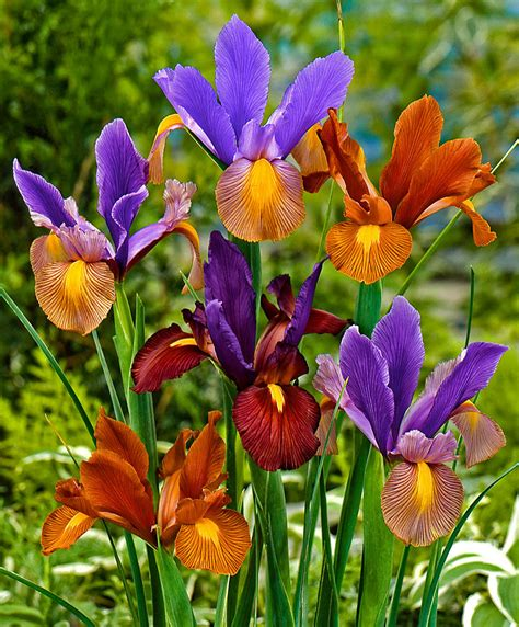 il fiore iris acquista iris olandesi in mix tiger bakker