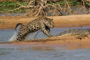 Jaguar Fighting Crocodile Pictures Jaguar Kills Caiman In Quot Spectacular Quot Attack