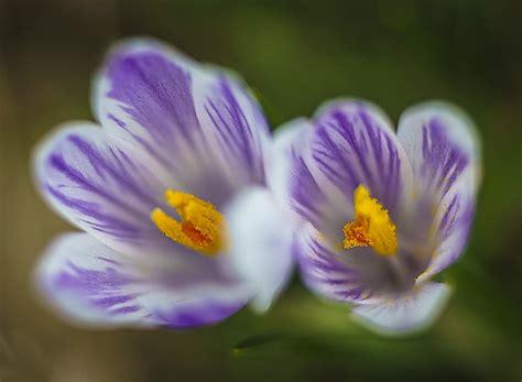 tappeto fiorito valle brembana crocus il tappeto fiorito dell alta val