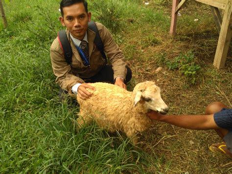 Bibit Kambing Kurban harga kambing kurban di kebayoran baru jakarta hubungi 0895 2186 8651 kambing bogor
