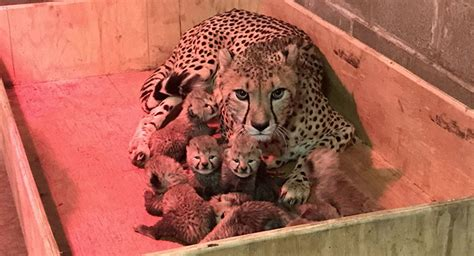Record Number Of Births Cheetah Gives Birth To A Record Number Of Cubs At Us Zoo Sputnik International