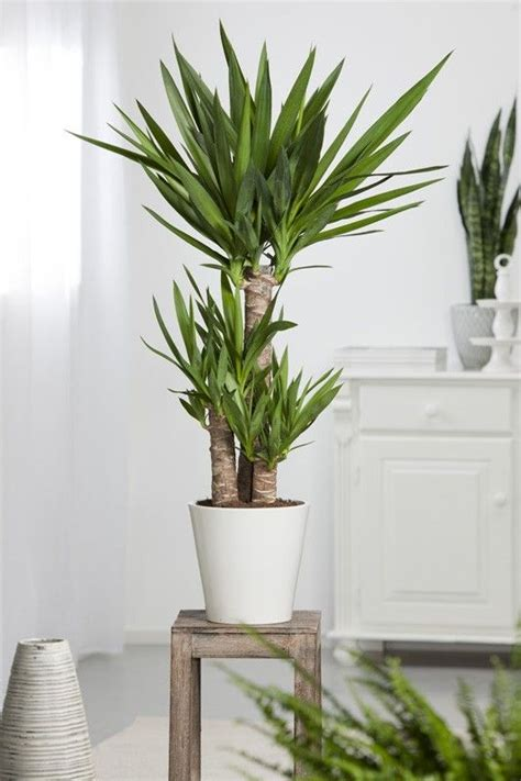 Yuka Plante D Intérieur by Les 25 Meilleures Id 233 Es De La Cat 233 Gorie Plante D Int 233 Rieur