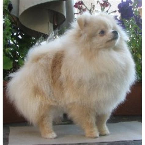 pomeranian puppies for sale calgary firesprite pomeranians pomeranian breeder in calgary alberta listing id 9886