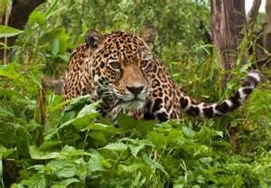 Tropical Rainforest Jaguar Tropical Rainforest Animals Jaguar Jaguar Cat Hd