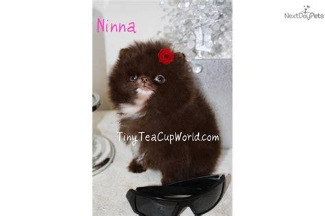 micro pomeranian for sale near me pomeranian puppy for sale near arizona ca86f0d1 0521
