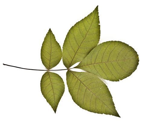leaves and trees how to identify deciduous trees by their leaf