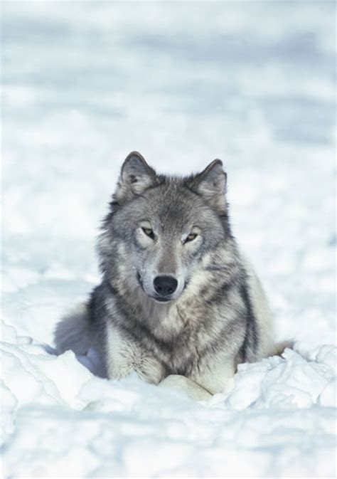 what is a wolf wolves facts diet habitat information