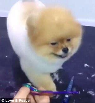 pomeranian getting groomed pomeranian enjoys getting groomed during a haircut in daily mail