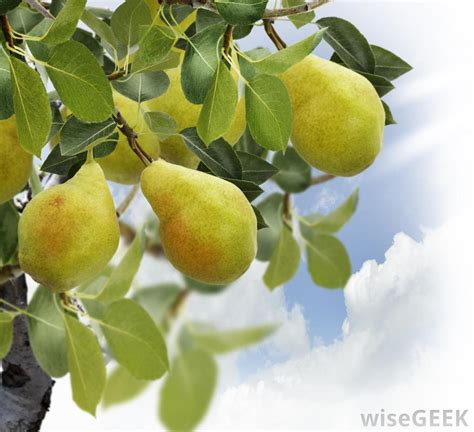 what of fruit grows on trees how do i plant a pear tree with pictures