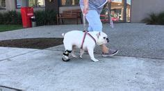 puppy stuck in birth canal 1000 images about orthopets brace on mini horses watches and