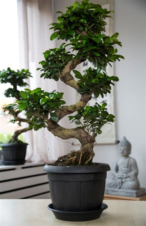 Arrosage Ficus Ginseng by Stunning Bonsai Ginseng Entretien Pictures Joshkrajcik