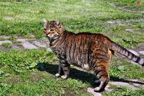 Tabby & Calico Shorthaired Cats, What?s the Difference