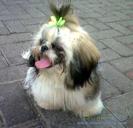 Pajangan Anjing Shin Tzu dunia anjing jual anjing shih tzu jual cepat anjing shih tzu kandang