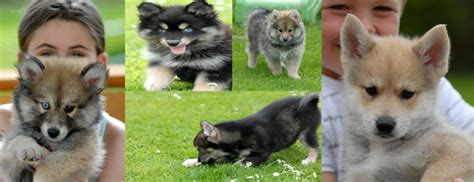 pomsky puppies for sale in mi pin pomsky puppies for sale michigan pets genuardis portal on
