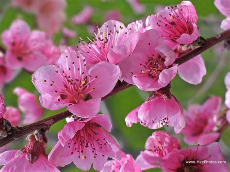 images of flowers peach flowers