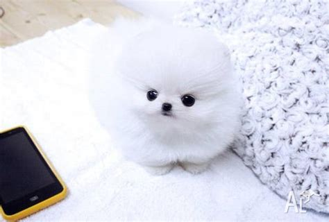 tiny micro teacup pomeranian sale pin white pomeranian age of 2 months on